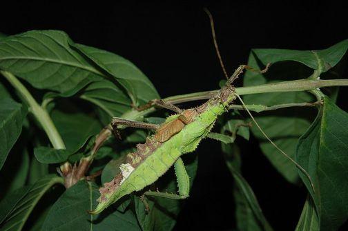 800px-Heteropteryx_dilatata_0034b_L.D[1]