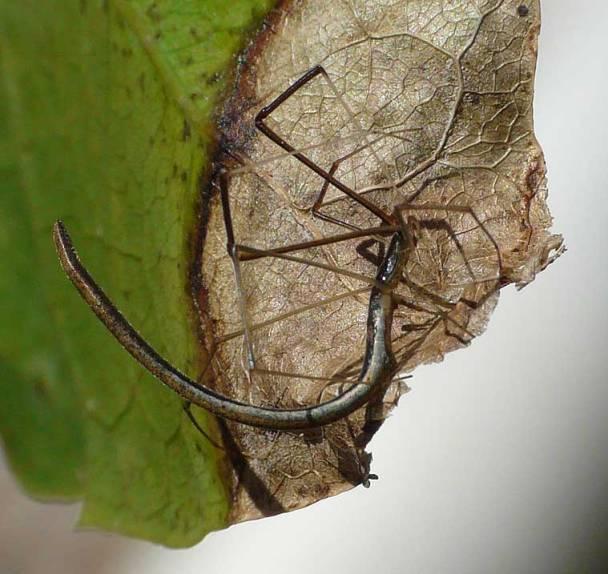Aranha-chicote[1]