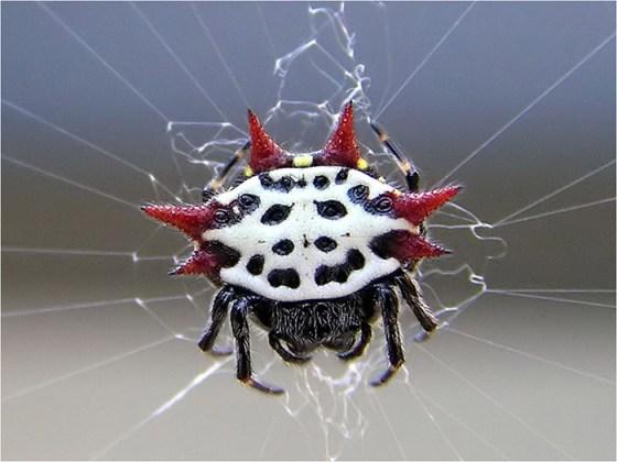 Aranha-espinhosa[1]