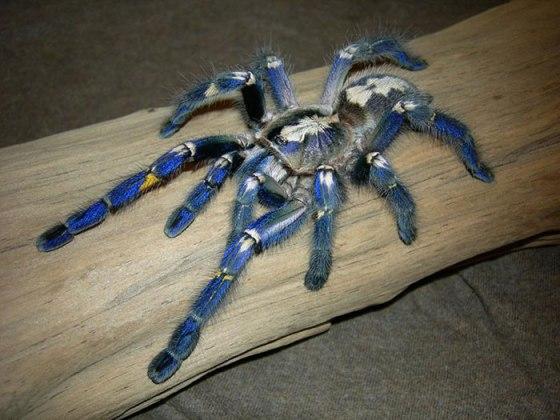 Aranha-metalica