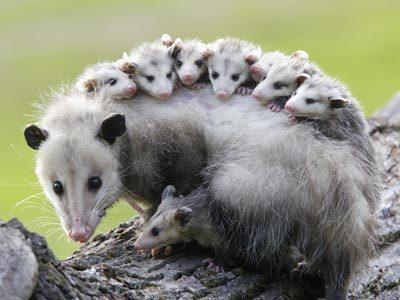 female-opossum-ig[1]