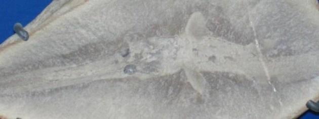 Bandringa-fossil.-Photo-credit-Copy-680x254[1]