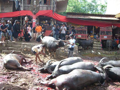 Los-muertos-caminan-en-la-Toraja-de-Indonesia