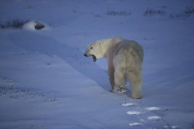 Polar-bear-at-dusk[1]