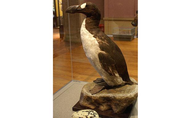 great_auk_-pinguinis_impennis-_specimen-_kelvingrove-_glasgow_-_geograph-org-uk_-_1108249[1]