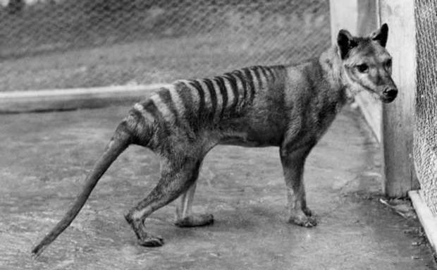 tasmanian_wolf-foto-de-benjamin-a-sheppard[1]