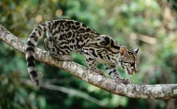 gato-maracaja-purestock-thinkstock[1]
