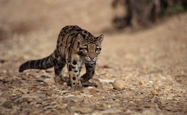 ng-clouded-leopard-jupiterimages-liquidlibrary-thinkstock[1]