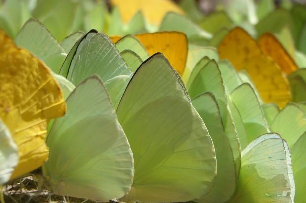 Machos de borboletas da subfamília Coliadinae procuram por sais minerais na beira dos rios da Floresta Amazônica