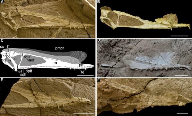 Crânios de fêmeas (esquerda) e de machos (direita)
