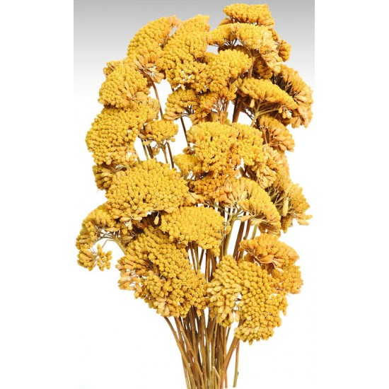 dried yarrow flower bunches