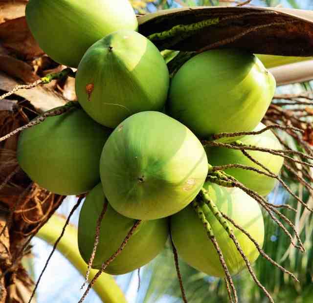 Curiouskeeda - Fruits - Coconut