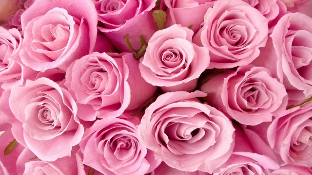 Pink rose- gentleness, grace, and sweetness