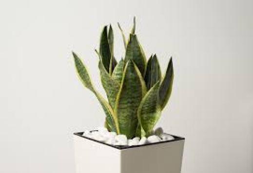 snake plant for immunity