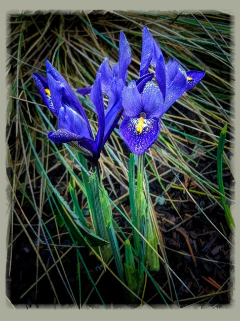 Irises for Curious Spectacles 2015-01-30irises resizedirises resized
