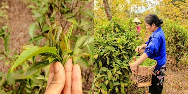 Laos Bolaven Plateau Bolaven Nang Bua Saa Dam Black Tea Leaf