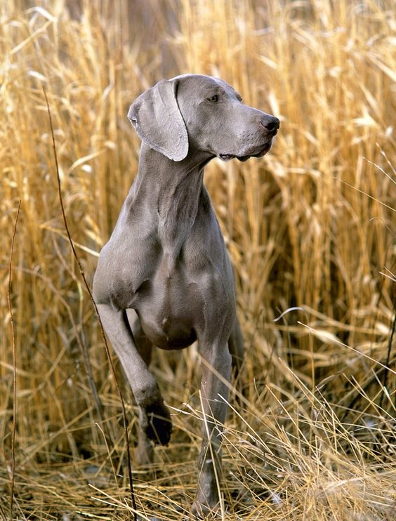 Curious Weim in the field