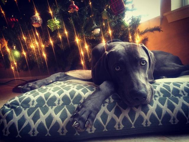 Maximus waiting for his Christmas presents.