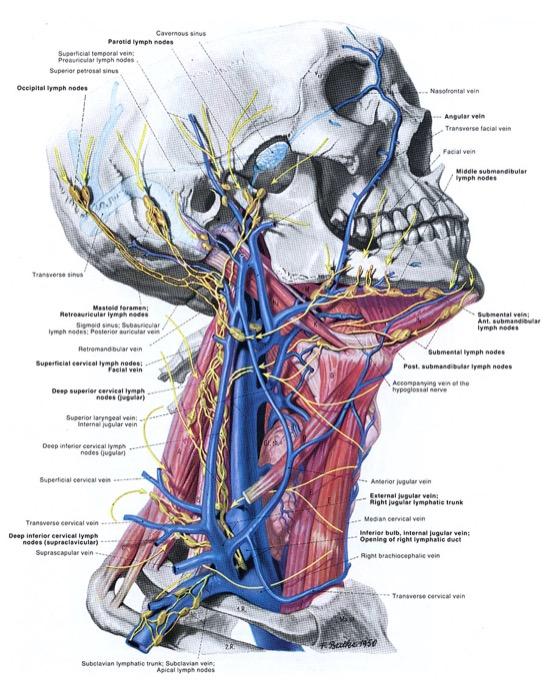 Ilustración del Atlas Pernkopf, el libro de anatomía nazi