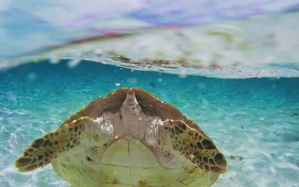 Martinique - anse dufour - nager avec les tortues