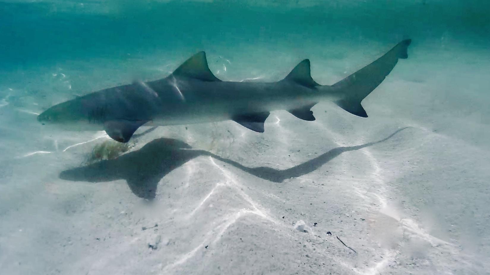 Bébé requin citron - Snorkeling a l'île de la petite terre guadeloupe