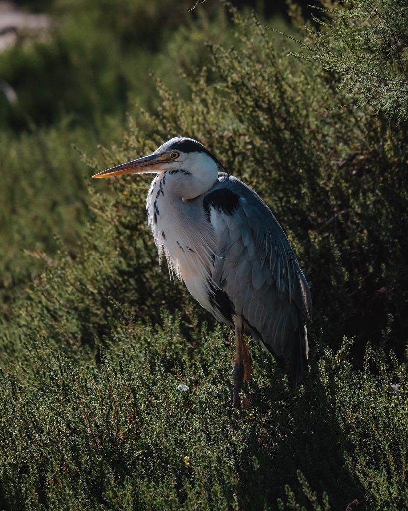 Héron - Parc ornithologique - Camargue - curlwildfree - edit-min