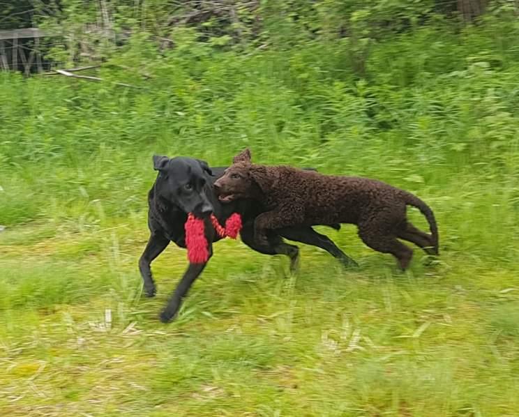 Curlygames Heti i full lek med en svart labrador