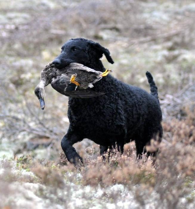 Kivi sin debut i åpen klasse, jaktprøve