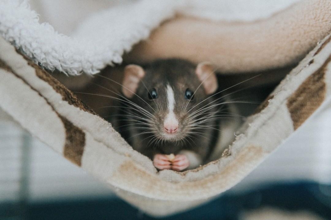 Как быстро избавиться от крыс в доме