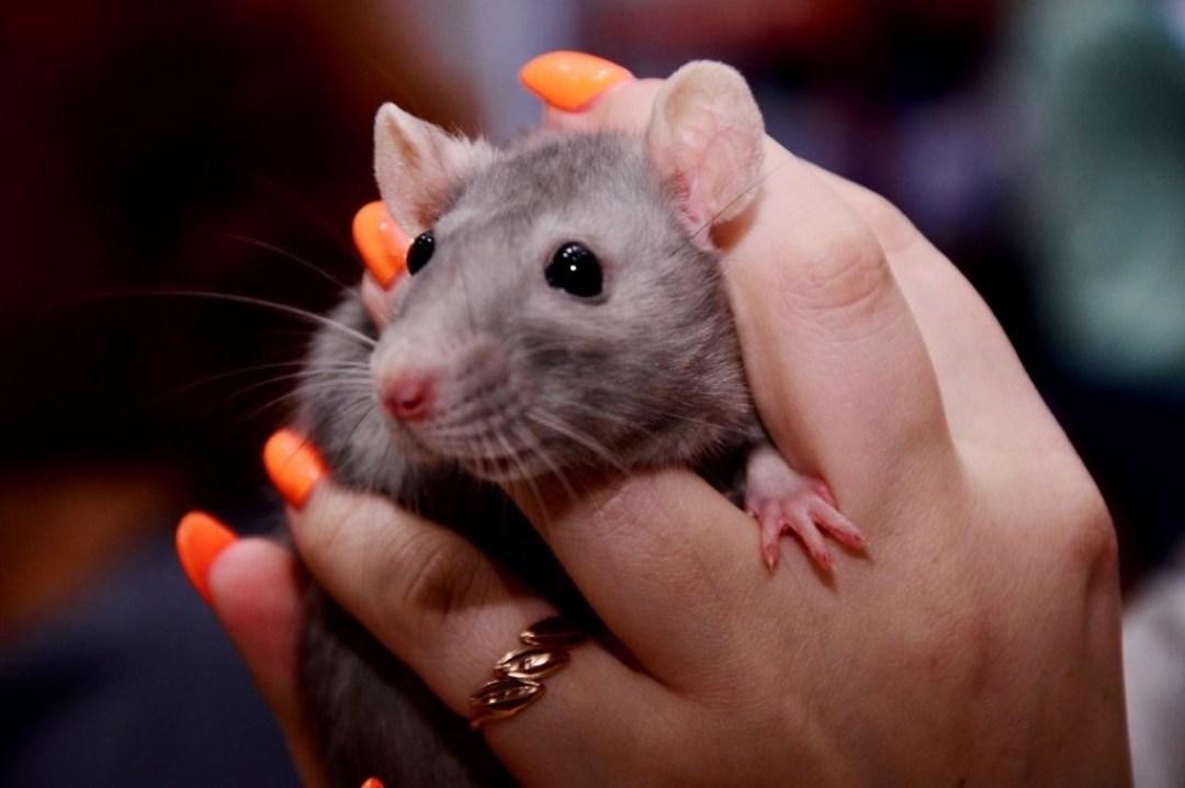 Какие физические повреждения могут причинить крысы в доме?