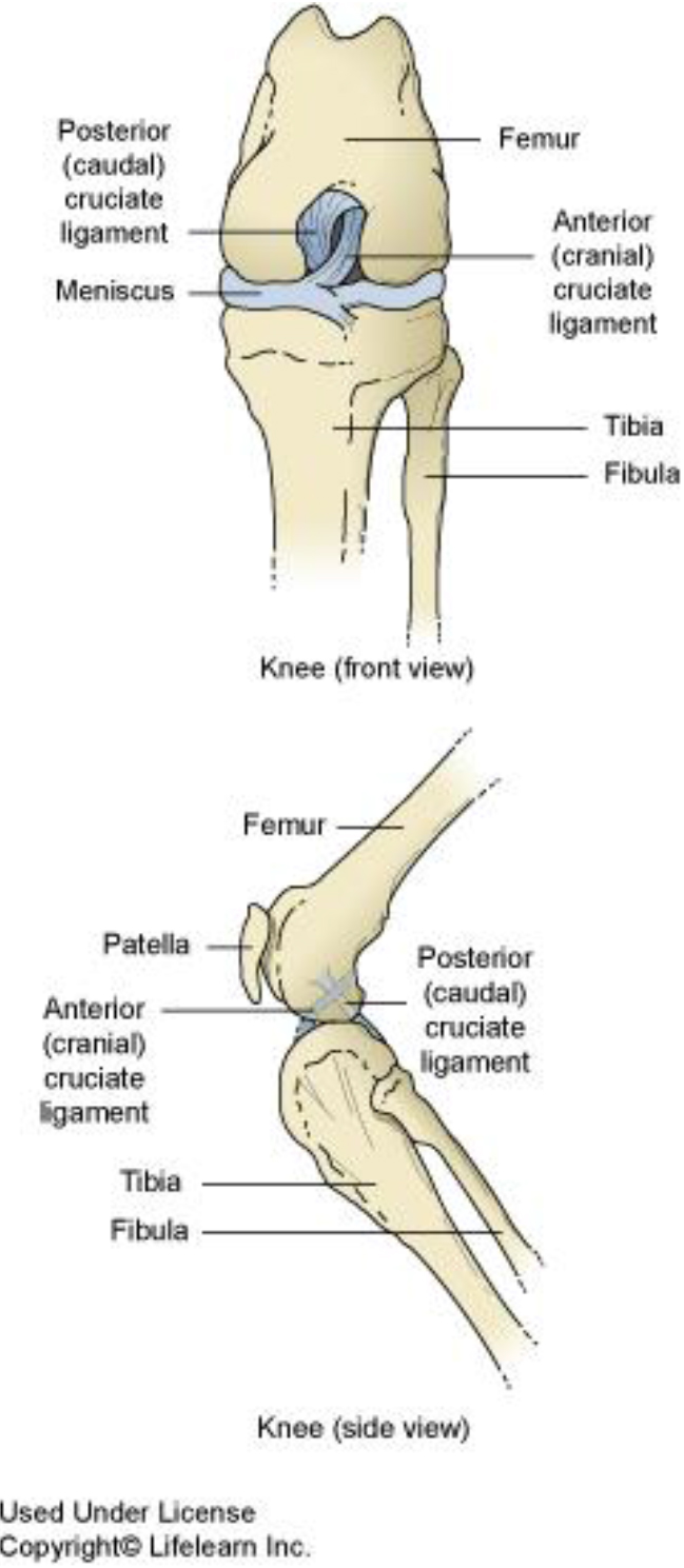 medium resolution of  cruciate ligament humans have a similar anatomical structure to the knee but the ligaments are called the anterior and posterior cruciate ligaments