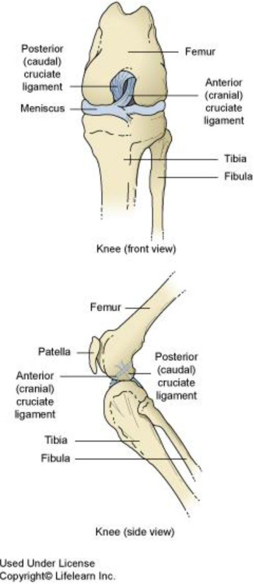 small resolution of  cruciate ligament humans have a similar anatomical structure to the knee but the ligaments are called the anterior and posterior cruciate ligaments