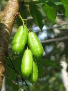 bimbli tree