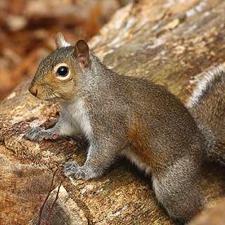 squirrels curry s termite