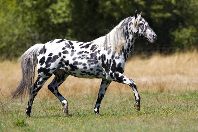 razas de caballos apalusa