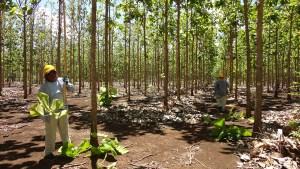 teak plantation, Costa Rica