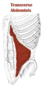 drawing of the transverse abdominis