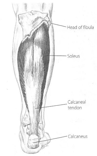 Soleus:  Learn Your Muscles