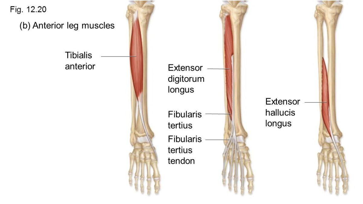Extensor Hallucis Longus and Extensor Digitorum Longus:  Learn Your Muscles
