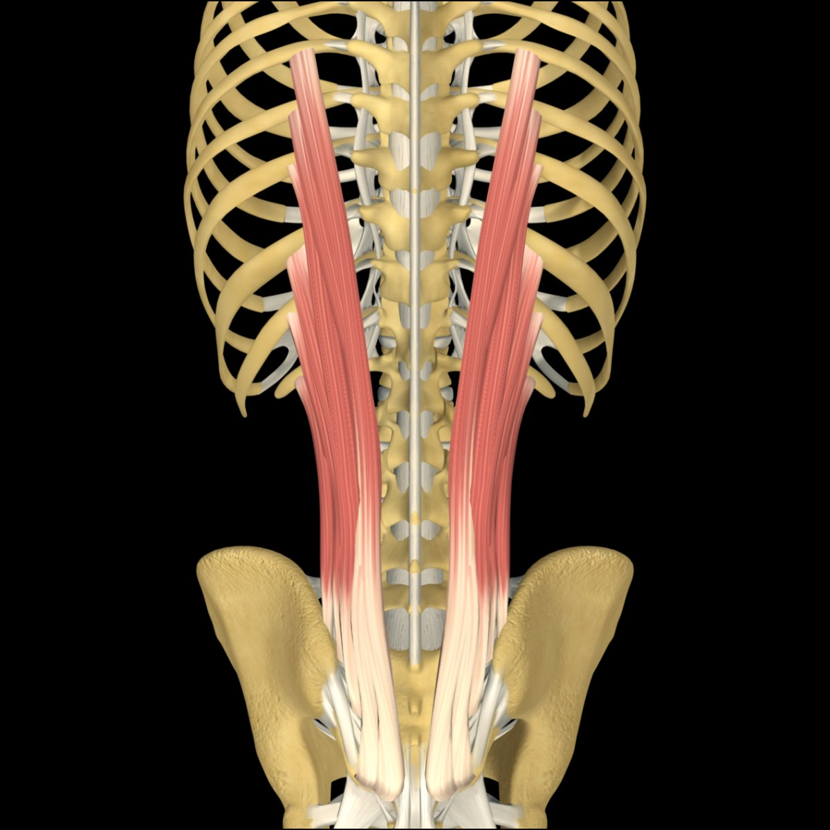 Iliocostalis Lumborum:  Learn Your Muscles