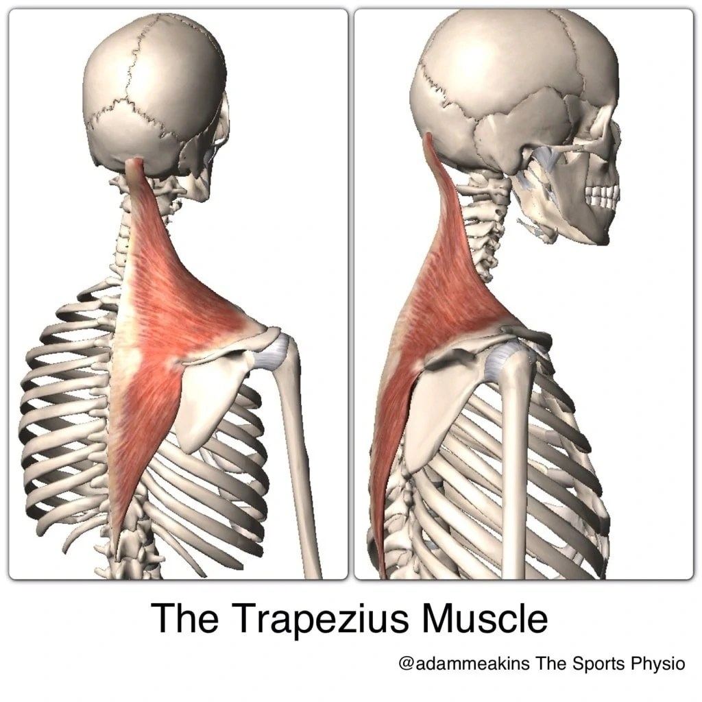 Trapezius (Upper, Middle, and Lower Divisions): Learn Your Muscles ...