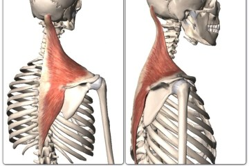 the upper, middle, and lower trapezius muscles