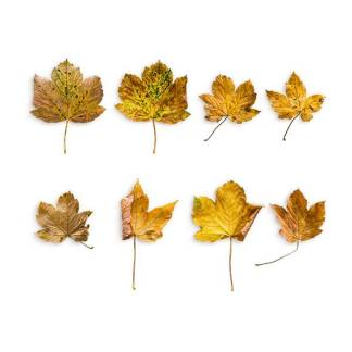 item-cover-maple-2-leaves-pack