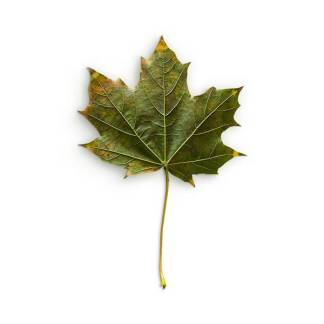 item-cover-maple-3-leaf-back-2