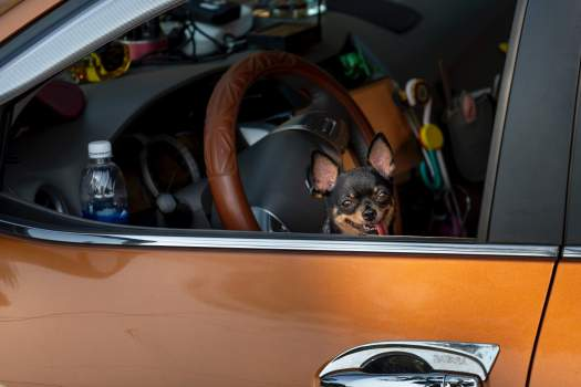 Small Dog in an Orange Car