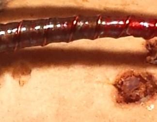 Mud & Blood Chironomid Pupa Fly
