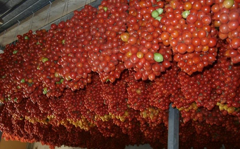"""Pomodoro """"a pennula"""", tipico di Paceco, sistemato come una collana e appeso: una riserva per l'inverno"""