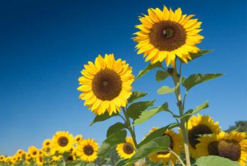 A sunflower field in summer.