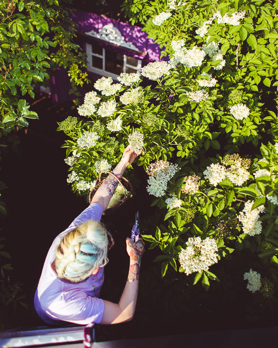 Heute fange ich an Holunderblüten zu ernten