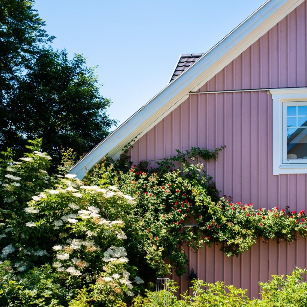 Der Holunder und Rosen im Garten von Rosa Haus